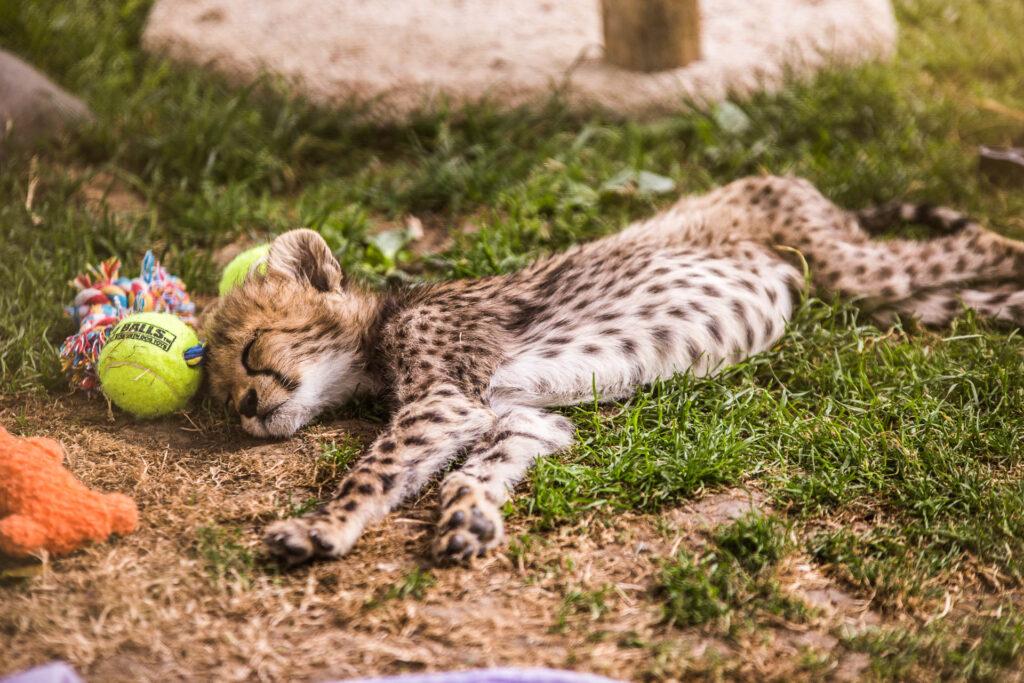 """Pancake"" the Cheetah Cub at Wildlife Safari Winston, OR"